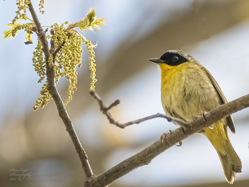 nature composition outdoors bokeh wildlife blossoms naturephotography warblers commonyellowthroat avians birdphotography wildlifephotography birdsandblooms outdoorphotography avianart avianphotography birdsasart aments wildbirdphotography birdsandlandscape canon7dmii