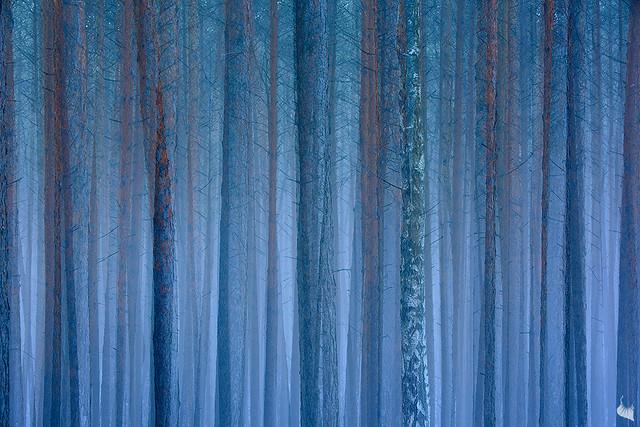 ||| the single birch |||