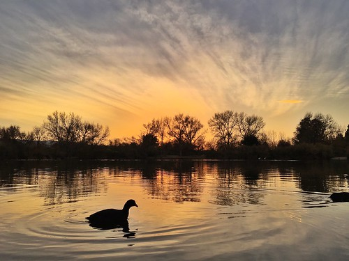 california sunset bird water birds losangeles pond coot pw sepulvedabasinwildlifepreserve wildlifewednesday