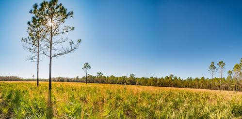 panorama pine tampa landscape us unitedstates florida wideangle ultrawide 15mm palmetto hillsborough pinus thonotosassa wideanglemacro pinesavannah laowa venus15mm