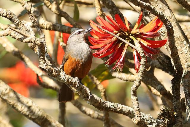 Kerala Laughingthrush - Trochalopteron fairbanki