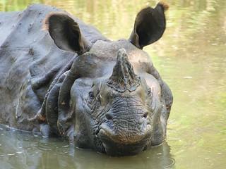 Neushoorn in Chitwan - Rhino in Chitwan
