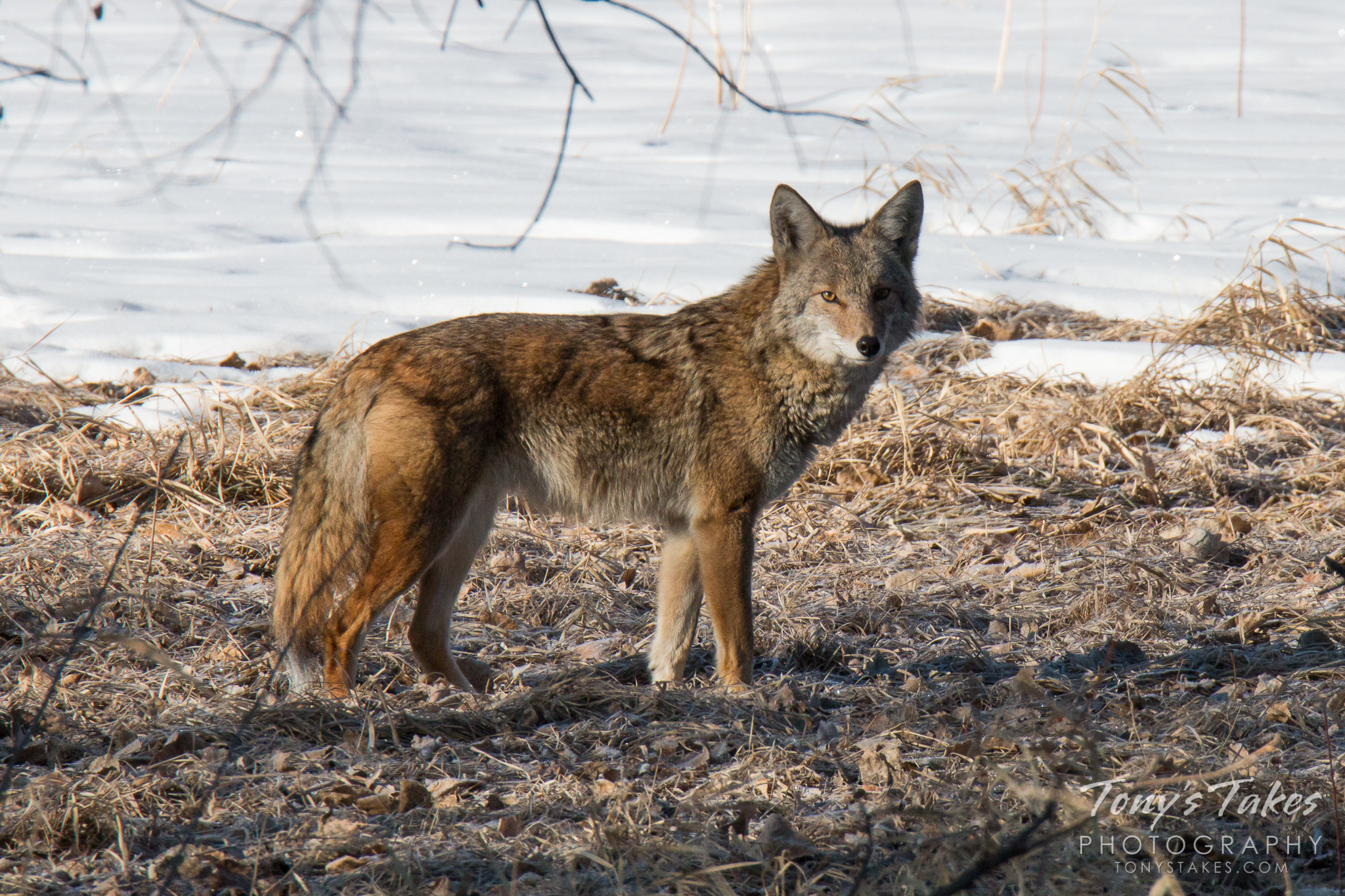 Coyote wakes from a nap, gives a nice closeup