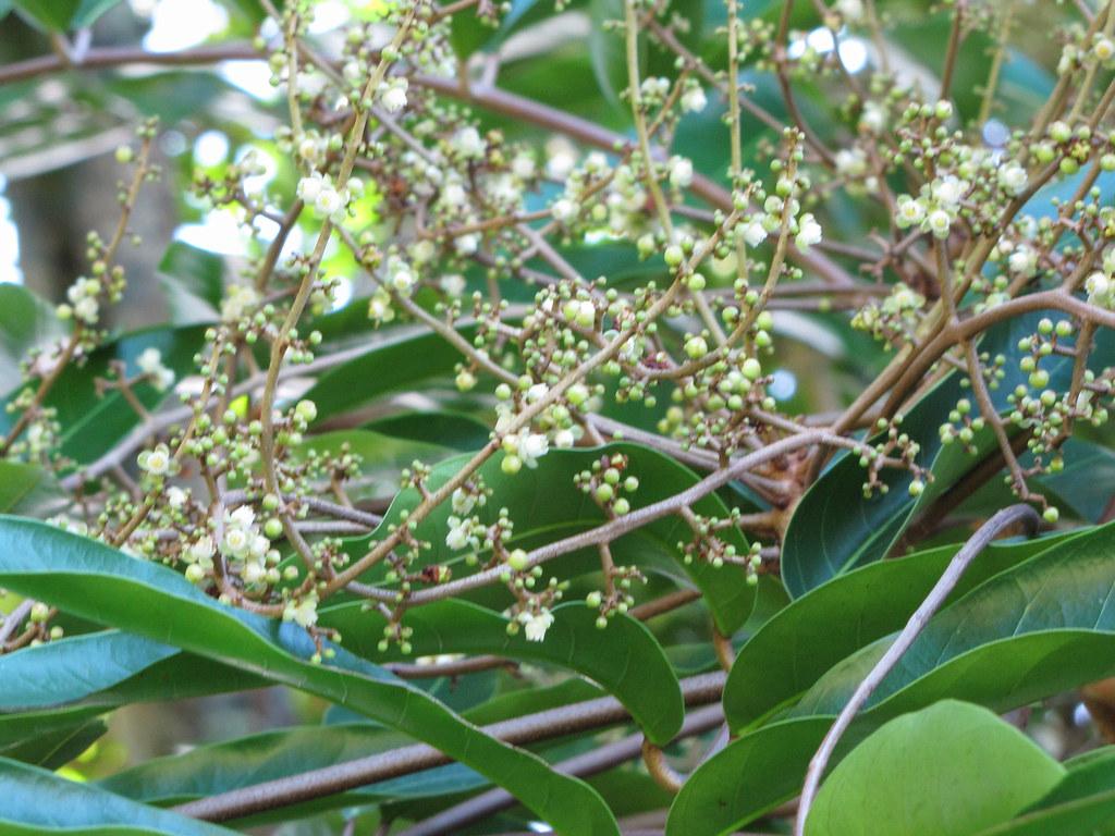 starr-091104-9177-Carapa_guianensis-flowers_and_leaves-Kahanu_Gardens_NTBG_Kaeleku_Hana-Maui
