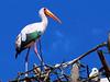 mycteria ibis by tdwrsa