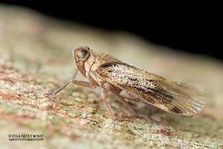 Planthopper (cf. Cixiidae) - DSC_6843