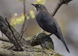 Rusty Blackbird | by Wildreturn