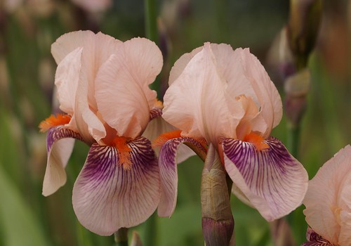 Iris TB 'Color Carnival' | by Eric Barbier
