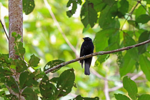 Pygmy Drongo-Fantail, Mokwam, West Papua