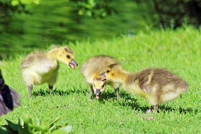 Canada Geese Goslings (Explored April 30, 2016) 16-0430-9257