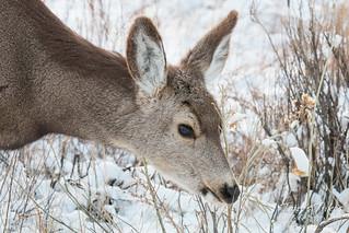 A very pretty mule deer doe   by TonysTakes