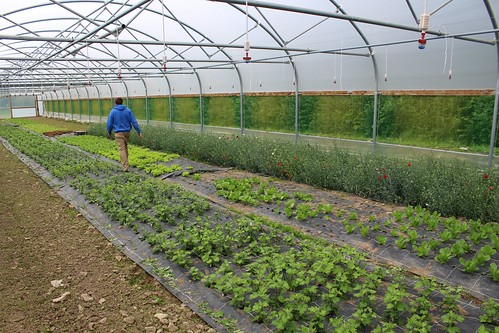 Growing vegetables in greenhouse | by Local Food Initiative