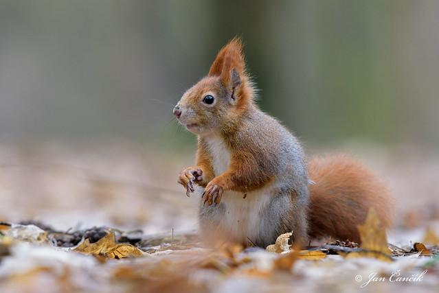 Squirrel Winter 2016