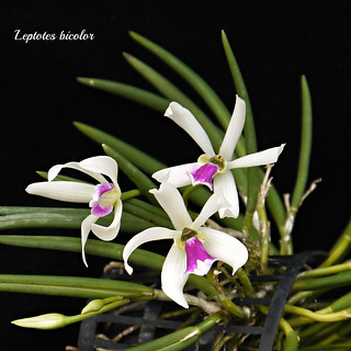 Leptotes bicolor | by emmily1955