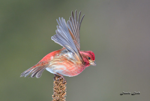 Purple Finch | by Jamie Lenh Photography