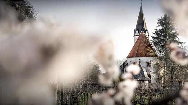 _DSC4906 Waucher Marillenblüte / St. Johann im Mauerthale / Lower- Austria