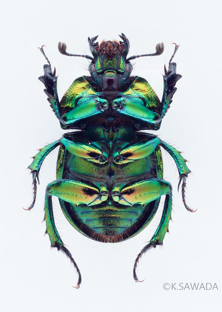 オオセンチコガネ名義タイプ亜種 Phelotrupes(Chromogeotrupes) auratus auratus (Motschulsky,1857) 富山県産-16腹面