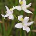 Oklahoma Grass Pink Orchid by Matt Buckingham