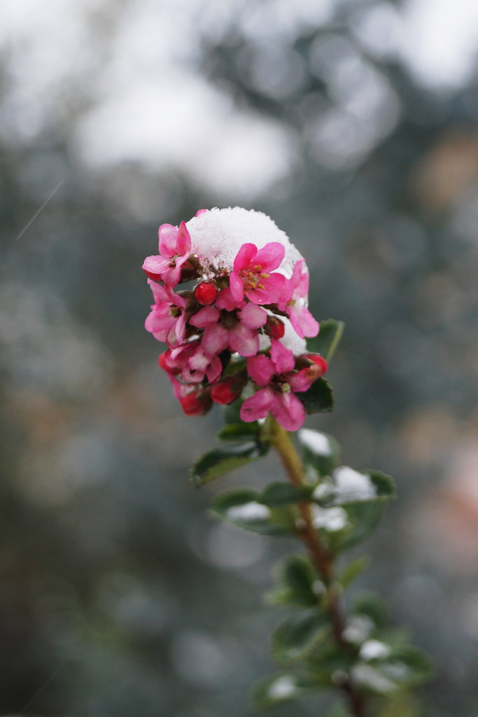 Escallonia Donard Seedling Flowers With Snow Cap Flickr