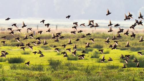 birds star starling stare vögel songbird gegenlicht flockofbirds singvogel vogelschwarm winzlar