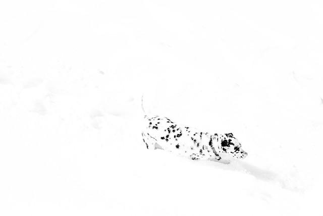 Dalmatian Camoulflage