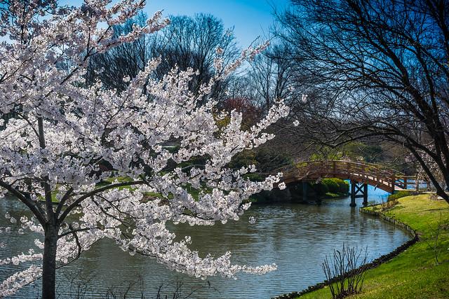 Cherry Blossom Trees at Missouri Botanical Garden