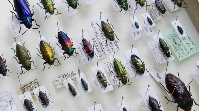 放置してあったものを箱に。  外産タマムシ  #specimen #buprestidae #coleoptera #jewelbeetle #beetles #nature #colors #jewel #beetle #昆虫 #タマムシ #標本