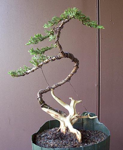 Miraculous Juniper Bonsai After Wiring A Juniper Im Training For Bon Flickr Wiring Digital Resources Timewpwclawcorpcom