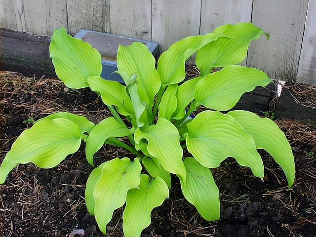 Hosta Sun Power I Have Two Of These Hostas And This One Flickr