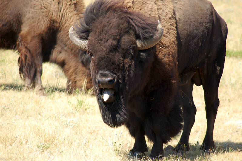 Bison'S Do Have Tongues