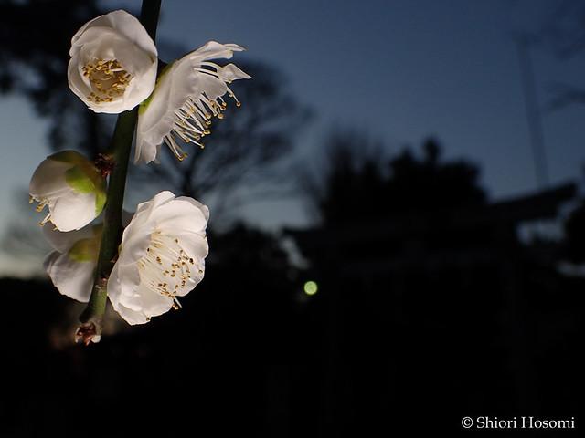 Prunus mume f. pendula