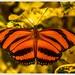Mariposa Bandas Naranja - Photo (c) Jose Amorin, algunos derechos reservados (CC BY-NC-SA)