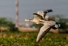 Bar Headed Geese Flying by swabanik