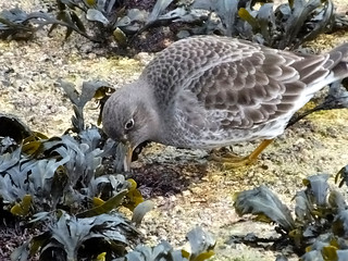Purple Sandpiper Calidris maritima | by david cawthraw
