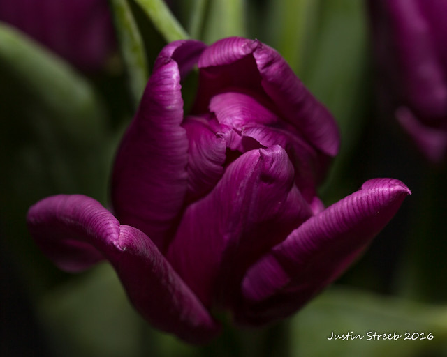 Purple Tulips 2