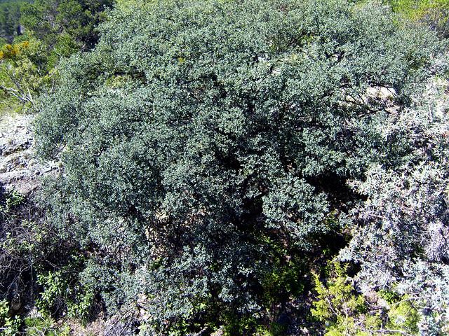 Quercus laceyi Small 1901 (FAGACEAE)