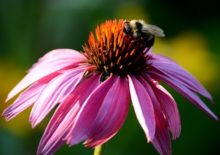 Bumblebee on Purple Coneflower | by U.S. Fish and Wildlife Service - Midwest Region