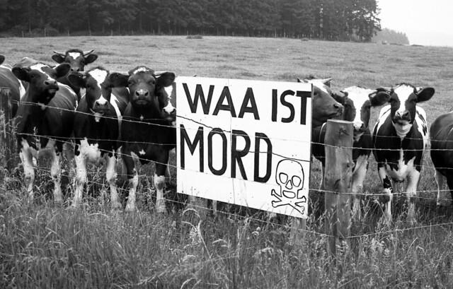 Kuh Demo gegen eine Wiederaufbereitungsanlage für Atomare Brennstäbe in der Eifel