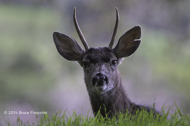 Black-tailed Spike Buck Looks Intently Over The Green Grass