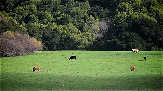 Cattle in a Paster off Calaveras Road. | by CDay DaytimeStudios w /1.5 Million views