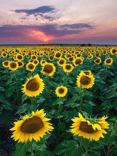 Sunflower Sunset | by Bryce Bradford