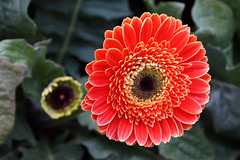 Chrysanthemum - Decorative Flower 3