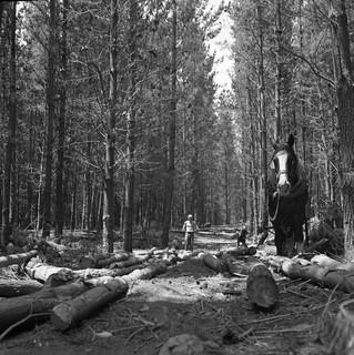 Plantation Harvesting, Horse snigging pine logs.