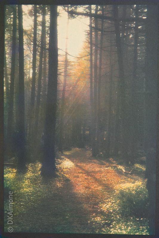 Monhegan Spruce Forest