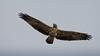 Águila Mora - Geranoaetus melanoleucus - Black-chested Buzzard-Eagle by Jorge Schlemmer