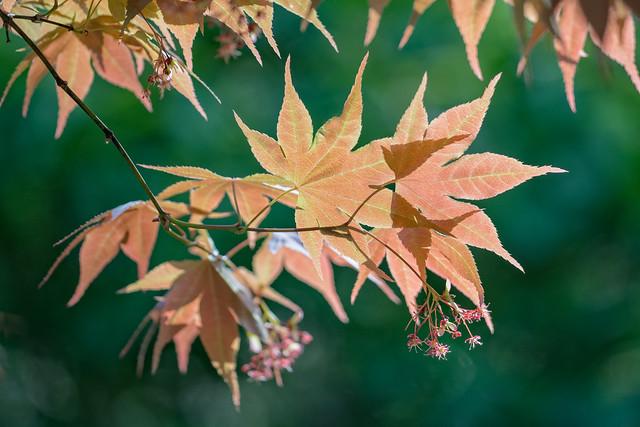 Japanese Maple at Cheekwood