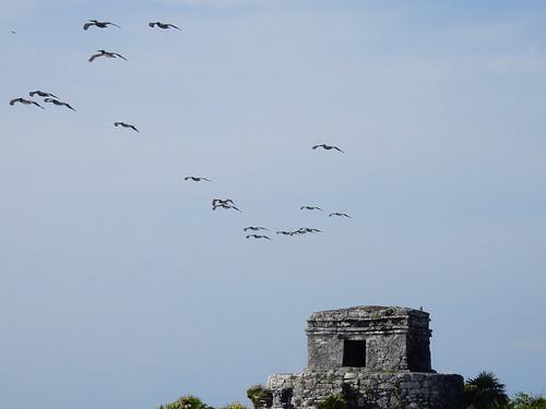 Tulum - pelikanen