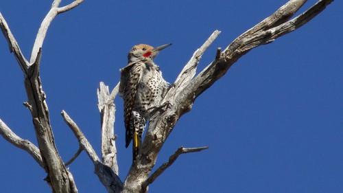 Gilded Flicker (male) | Arivaca Cienega Trail | BANWR | AZ | 2016-04-09at06-42-3322 | by Bettina Arrigoni