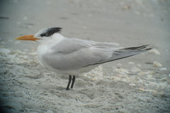 Royal Tern, Bowman's Beach, FL 1/14/2016