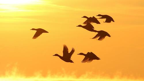 orange ontario bird silhouette yellow sunrise flying flight mallard lakeontario pickering birdinflight pickeringon sandragilchrist
